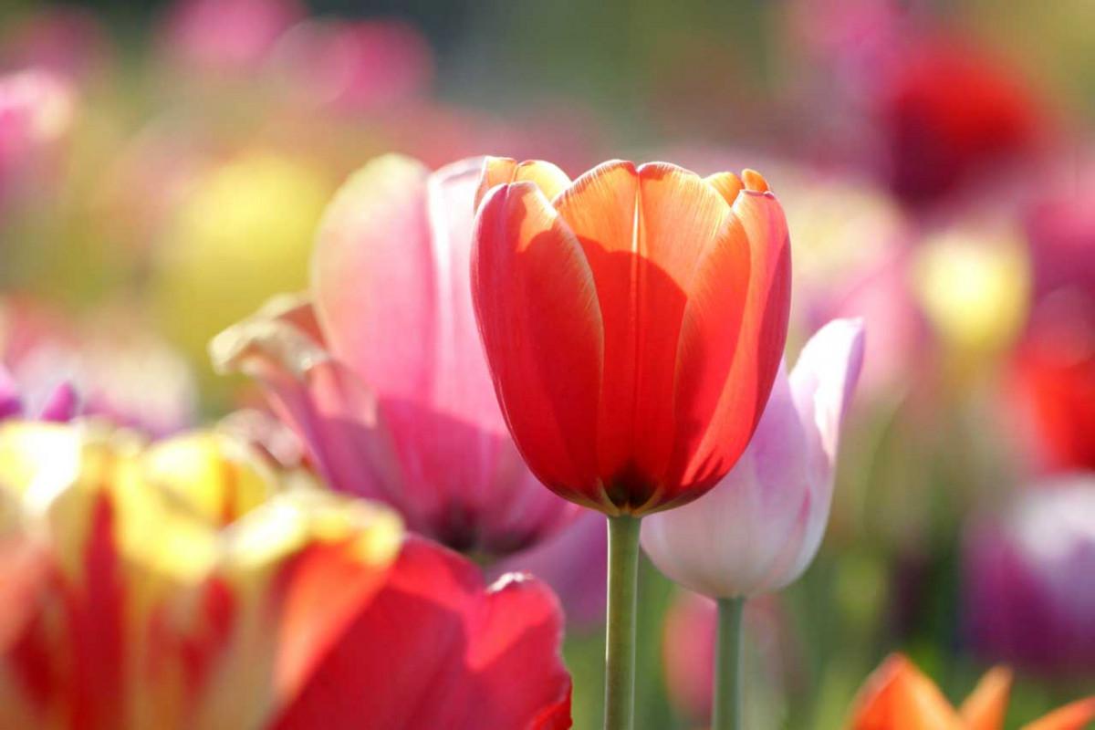 Wie lässt sich die Lebensdauer von Tulpen verlängern?