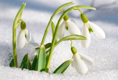 Was Sie beim Pflanzen von Schneeglöckchen beachten müssen