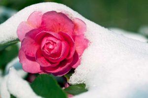 Kamelien - So pflegen Sie die exotischen Schönheiten in winterlichen Gärten