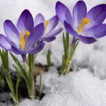 Krokus – verlängerte Blüte durch richtige Zwiebelwahl