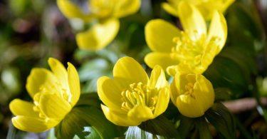 Winterlinge – gelbe Highlights im Garten