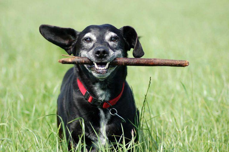 Solidago als Nierenstärkungsmittel für den Hund einsetzen
