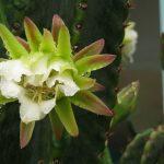 Herzbeschwerden mit Cactus grandiflorus homöopathisch behandeln