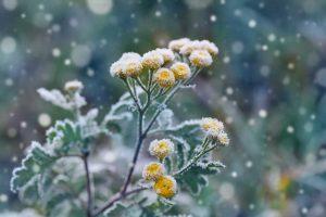 Winterblühende Pflanzen: Wie kommt auch im Winter Farbe in den Garten?