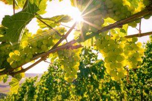 Rebsorten: Wann passen Chardonnay, Sauvignon Blanc und Müller-Thurgau?