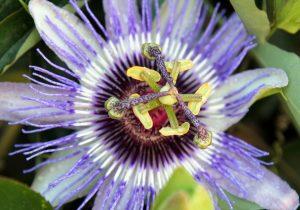 Lavendel und Passionsblume helfen bei innerer Unruhe und Ängsten