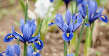 Blau-violett lockt das Frühjahr: Zwerg- oder Winteriris pflanzen