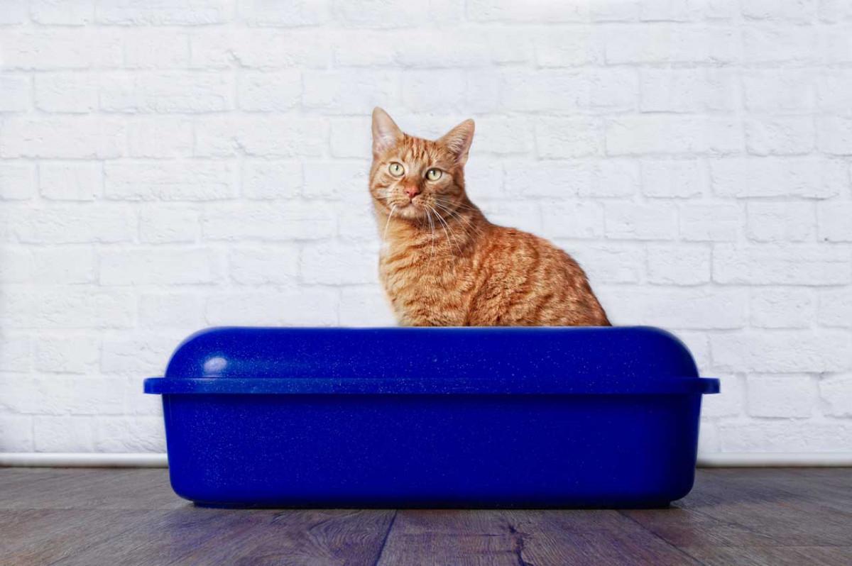 Petroselinum sativum für Blasenerkrankungen bei der Katze
