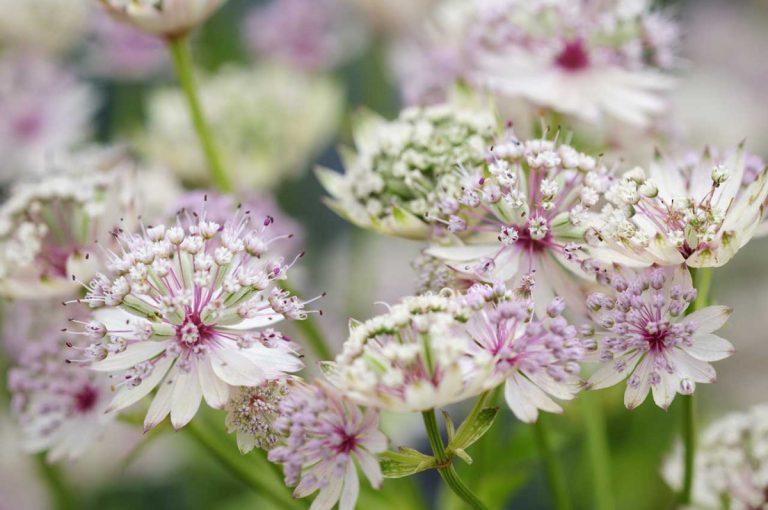 Sterndolden – Blütensterne für Beet und Vase