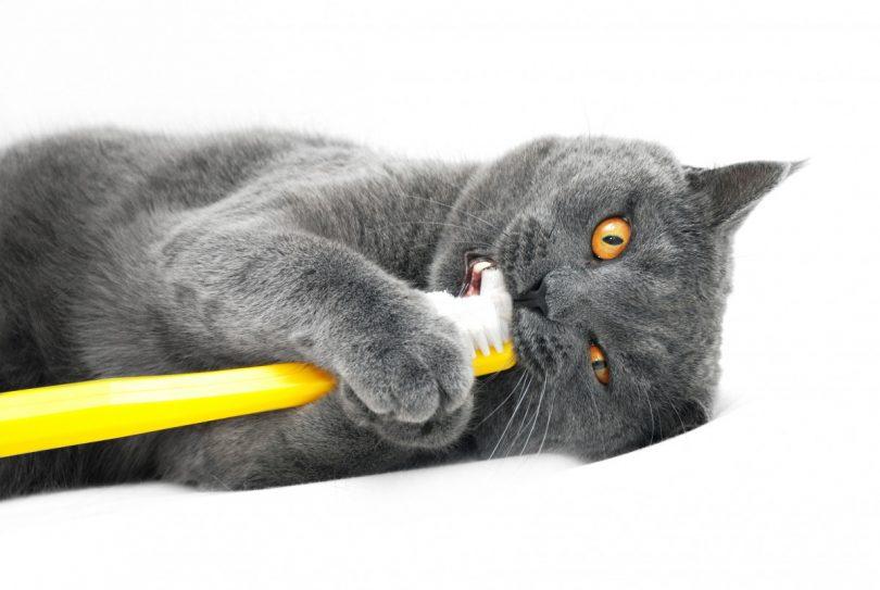 Staphysagria für Katzen mit Zahnerkrankungen und Karies