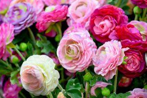 Pfingstrosen – Prachtstauden für den Garten