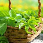 Giersch im Garten – Frust oder Lust?