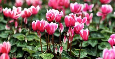 Verschönern Sie Ihren Garten mit Alpenveilchen