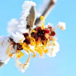 Winterwunder Zaubernuss - Wissenswertes über die Hamamelis