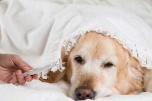 Ferrum phosphoricum für fieberhafte Erkrankungen beim Hund