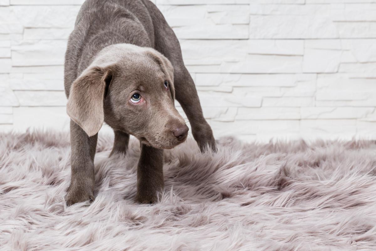 Argentum nitricum für ängstliche Hunde