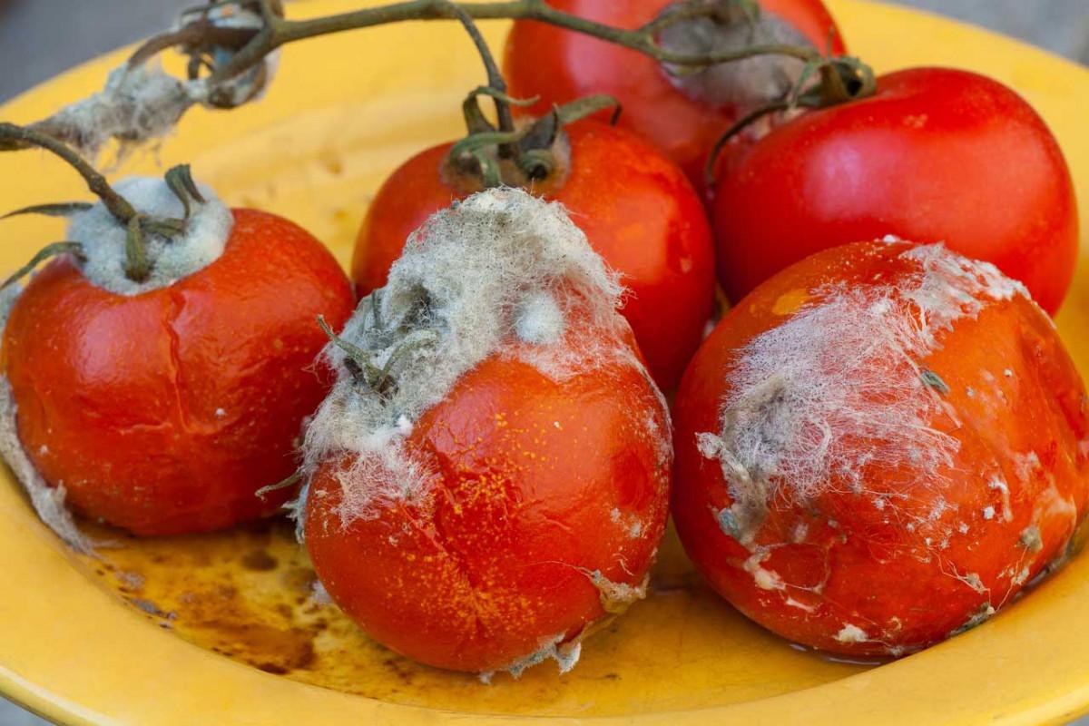 Wie gefährlich sind Schimmelpilze in der Nahrung?