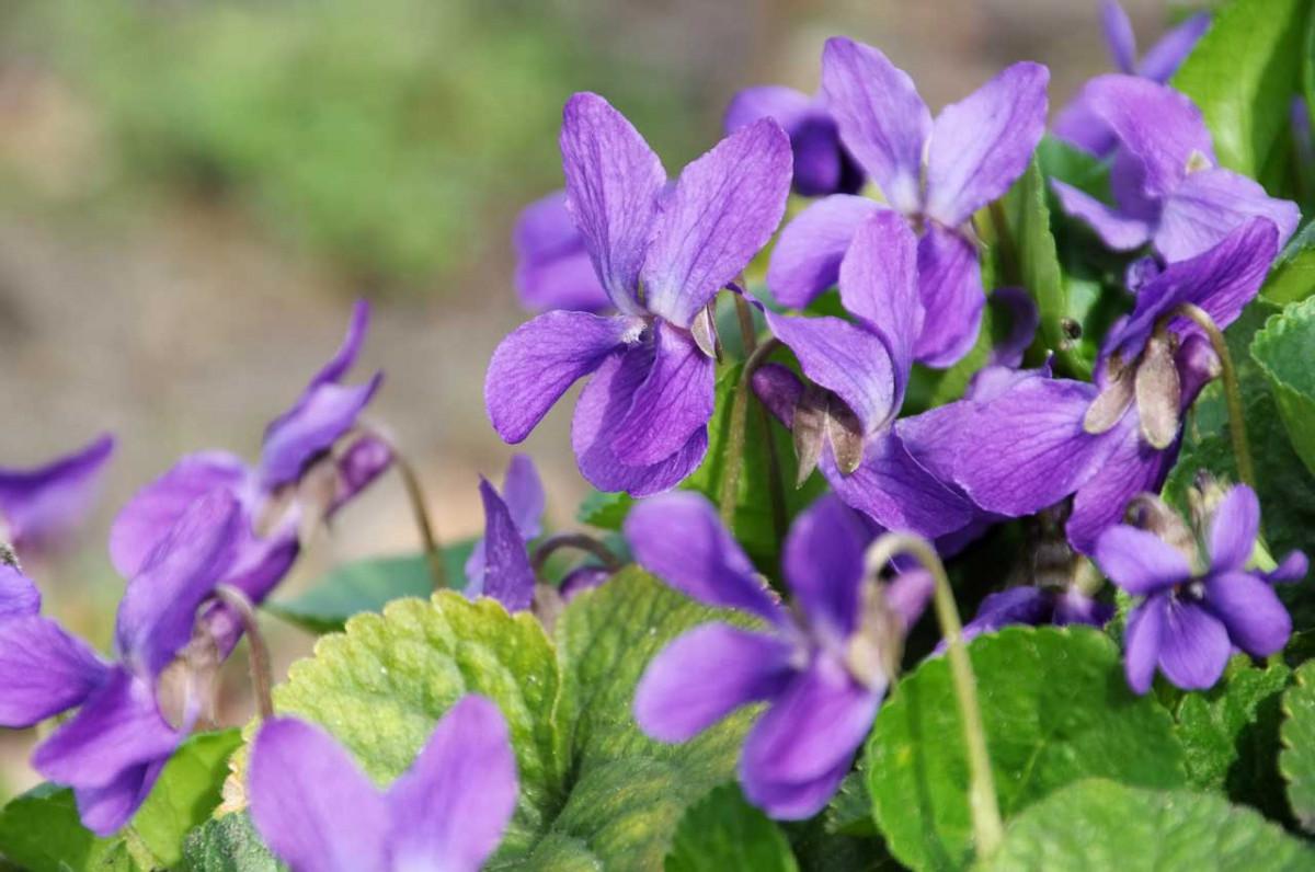 Wie Sie sich an Veilchen in Garten und Küche begeistern können