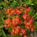 Wie Sie mit Euphorbien mediterranes Flair in Ihren Garten bringen