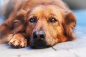 Tarantula für Hunde mit überreiztem Nervensystem