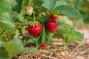 Erdbeeren: Gesunde Verwendung der kalorienarmen Heilfrüchte