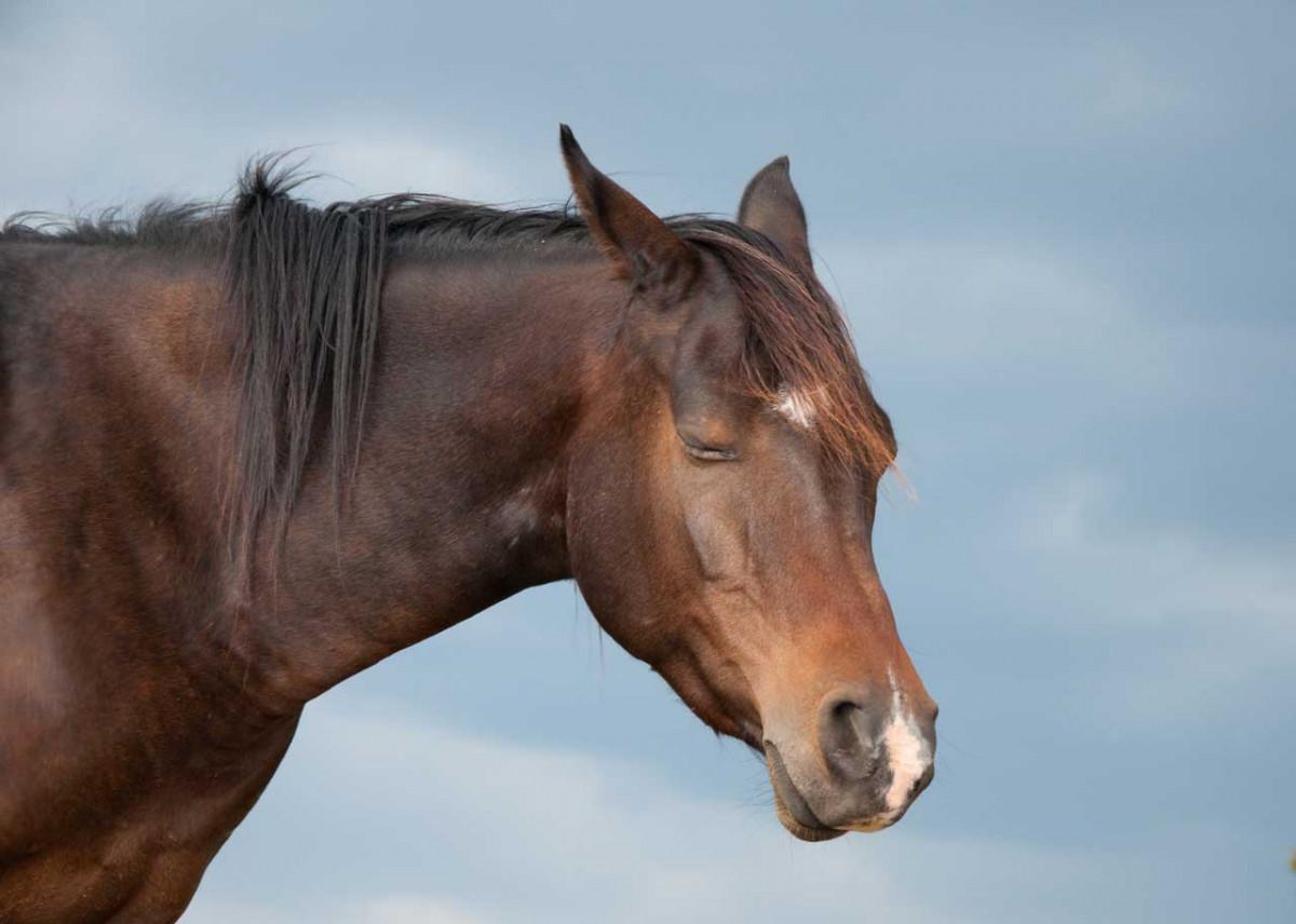 Taraxum hilft Pferden bei Erkrankungen von Leber und Nieren