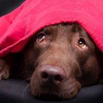 Borax für Hunde mit Angst vor Geräuschen und Gewitter