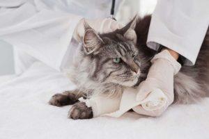 Bellis perennis für Katzen bei Verletzungen