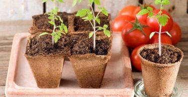 Tomaten pflanzen: Der richtige Zeitpunkt