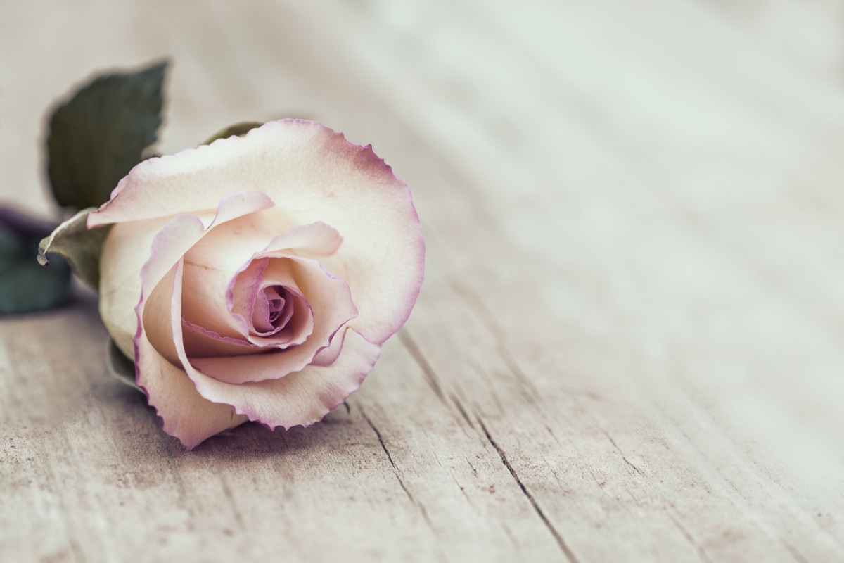 Heilpflanze Rose: Rezepte und Wirkung
