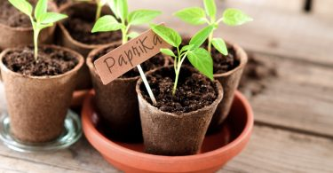 Paprika: richtig aussäen und pflanzen