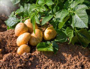 Kartoffeln anbauen: Tipps für eine reiche Kartoffelernte