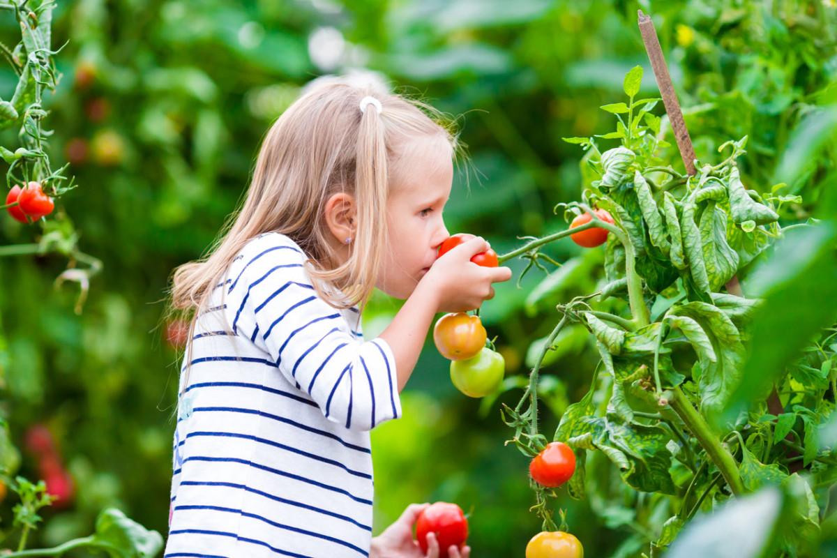 Tomaten gedeihen auch ohne Kunstdünger und Pestizide – so geht's