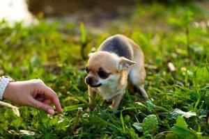 Stramonium für aggressive und ängstliche Hunde anwenden
