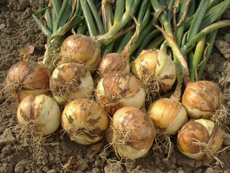 Zwiebeln pflanzen: Anbau und Ernte