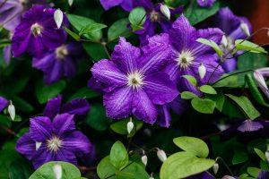 Clematis – so bewahren sie eine üppige Blüte