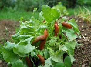 Homöopathie für Pflanzen: Schnecken mit Helix tosta vertreiben