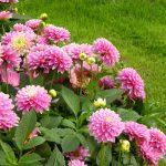 Dahlien pflanzen: großartiger Blickfang mit ländlichem Charme