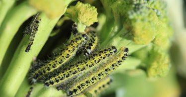 Homöopathie für Pflanzen - Kohlweißling bekämpfen