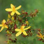 Lernen Sie die heilsamen Kräfte der Bachblüte Agrimony kennen