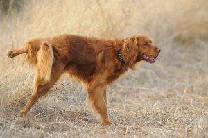 Blasenentzündung (Zystis) beim Hund – Homöopathie hilft