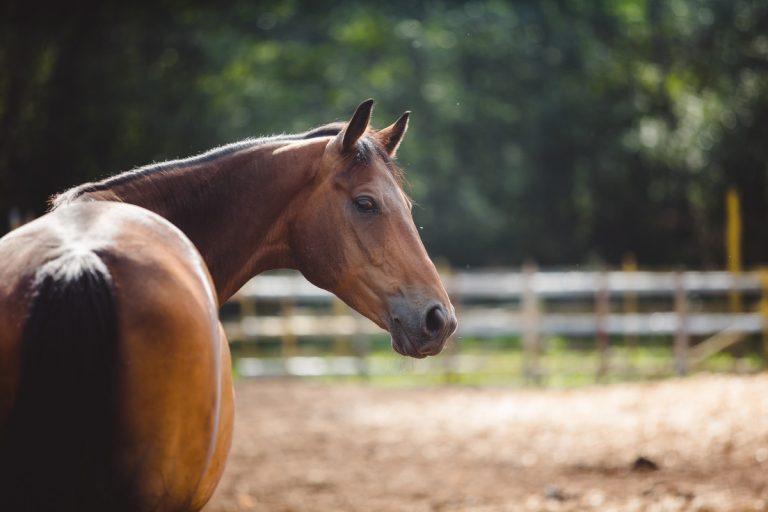 Milchmangel beim Pferd mit homöopathischen Mitteln ausgleichen