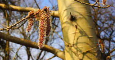 Lernen Sie die heilsamen Kräfte der Bachblüte Aspen kennen