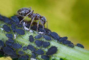 Homöopathie für Pflanzen: Blattläuse und Schildläuse vertreiben