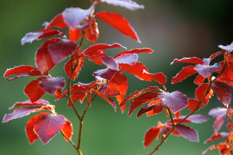 Lernen Sie die heilsamen Kräfte der Bachblüte Beech kennen