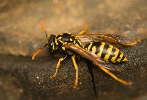 Sommerzeit ist Wespenzeit: Was hilft gegen Wespen?