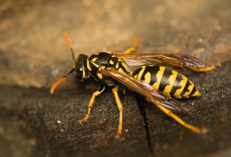 Sommerzeit Ist Wespenzeit Was Hilft Gegen Wespen Experto De
