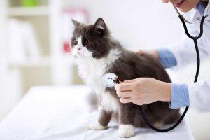 Gelsemium für Katzen bei Infektionskrankheiten