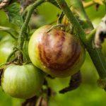 Pflanzenhomöopathie: Braunfäule bei Tomaten homöopathisch behandeln