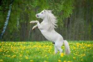 Hekla lava hilft Pferden bei Überbeinen und Spat